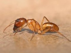 نمله من تانزانيا (Genus: Camponotus)