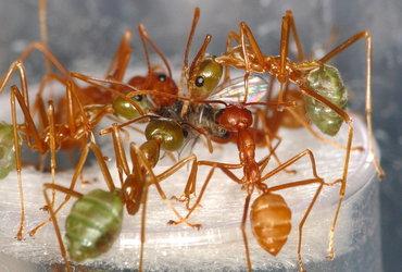 مجموعه من النمل الحائك التايلندي (الأحمر) والأسترالي (الأخضر). تتغذى هذه المجموعات على حشرات الأزهار.